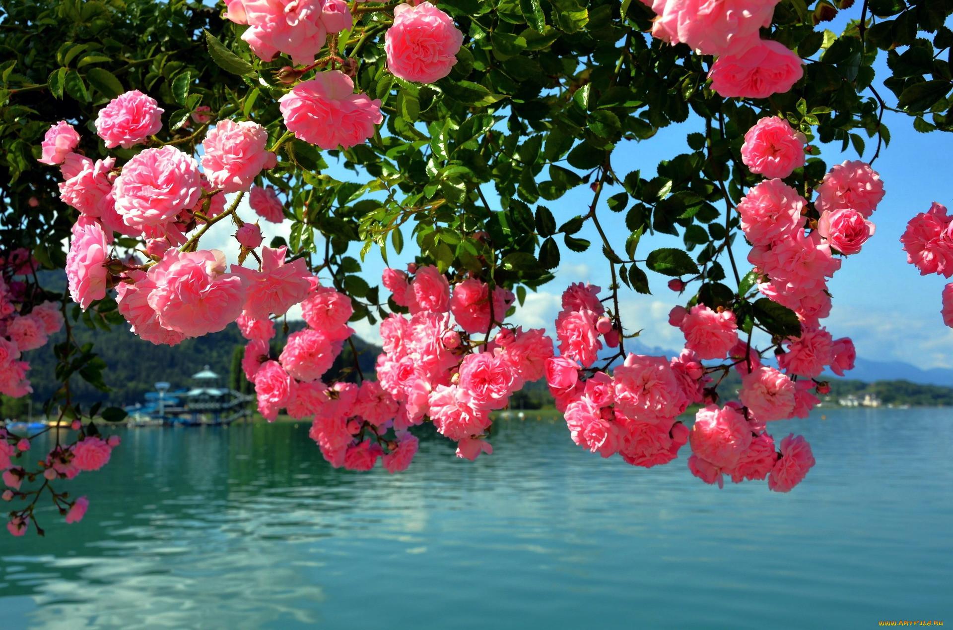 Картинки с розовыми цветами отличает других
